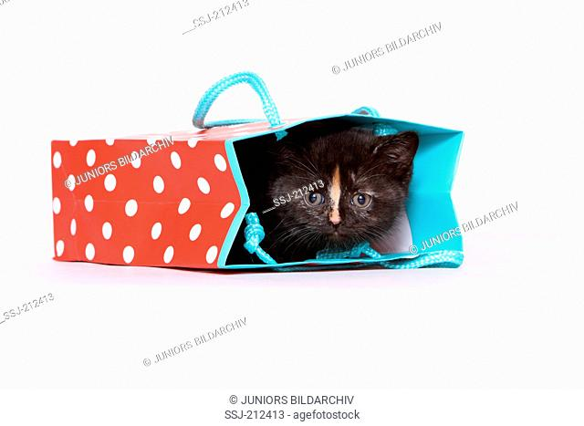 British Shorthair. Kitten (6 weeks old) hiding in a paper bag. Studio picture against a white background. Germany