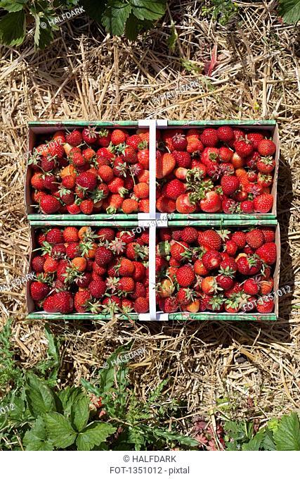 Freshly harvested strawberries in field