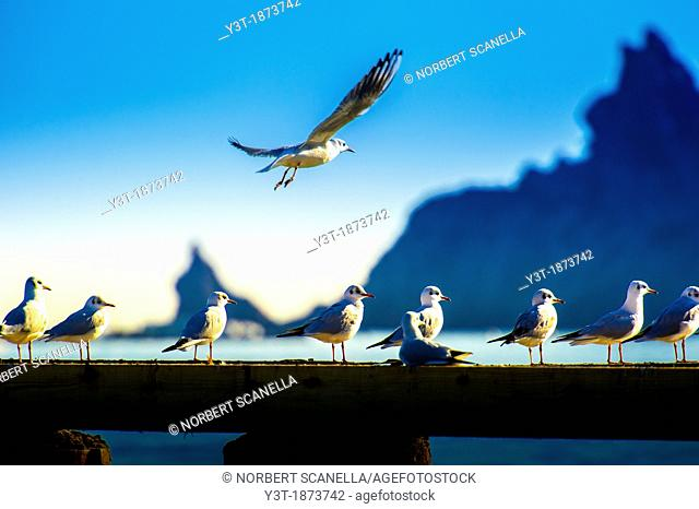 Europe, France, Alpes-Maritimes, Mandelieu  Seagulls