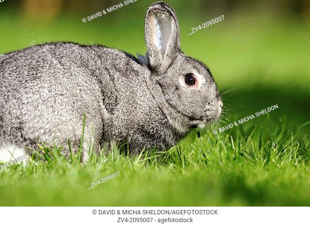 Close-up of a Chinchilla rabbit on a meadow
