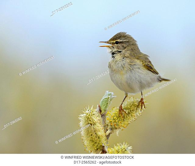 Singing Willow warbler (Phylloscopus trochilus) on willow flowers. Norway