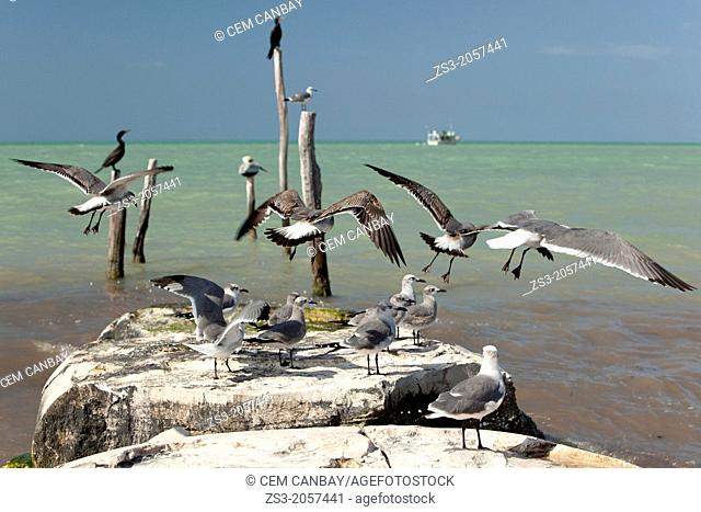 Birds at the disturbed pier with a fishing boat at the background, Isla Holbox, Quintana Roo, Yucatan Peninsula, Mexico