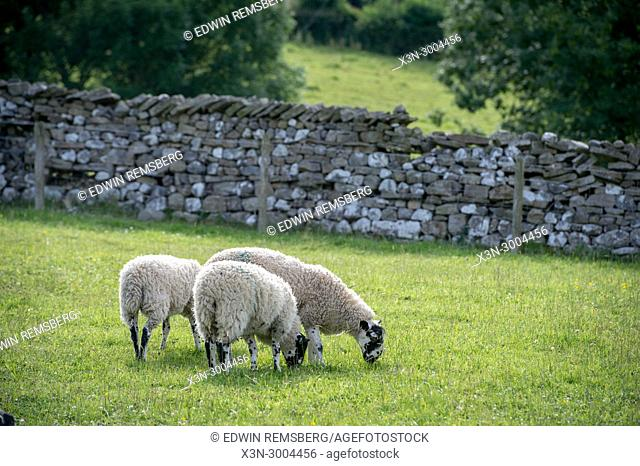Group of sheep grazing in sunny pasture, Yorkshire Dales, UK