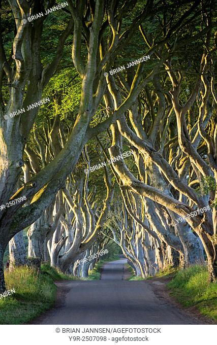 Dawn over the 18th Century Beech Tree lined road known as the Dark Hedges near Stanocum, County Antrim, Northern Ireland, UK