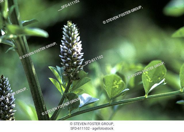 Licorice Plant, Glycyrrhiza glabra