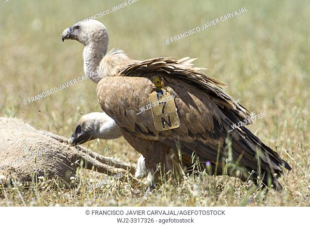 Griffon vulture (Gyps fulvus) marked on 09-26-2013 in Cinctorres, Castellon, Spain and photographed on 05-14-2019 at 800km in Granja de Torrehermosa
