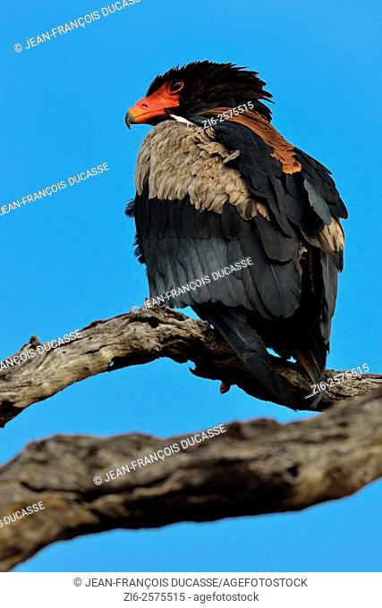 Bateleur eagle (Terathopius ecaudatus), perched on dead tree, looking far ahead, Kruger National Park, South Africa, Africa