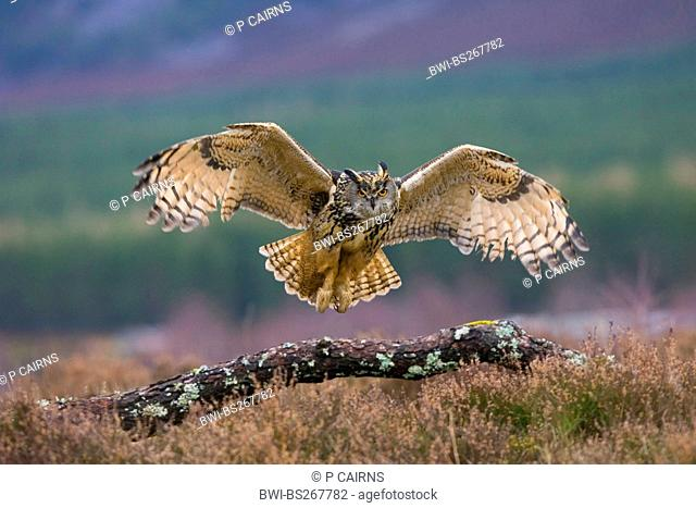 northern eagle owl Bubo bubo, approach for a landing, United Kingdom, Scotland, Cairngorms National Park