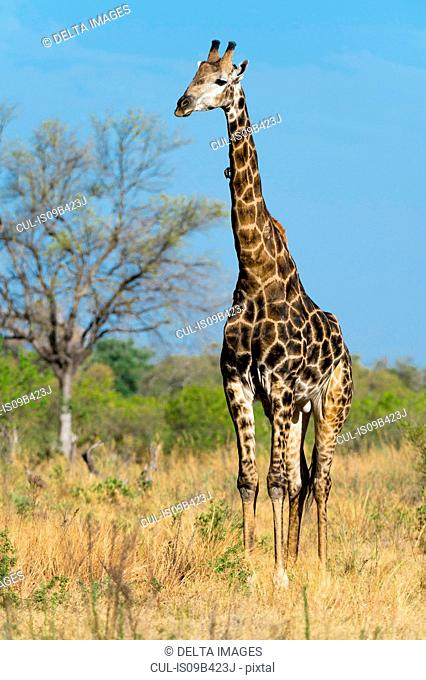 Giraffe (Giraffa camelopardalis) in grassland, Khwai concession, Okavango delta, Botswana