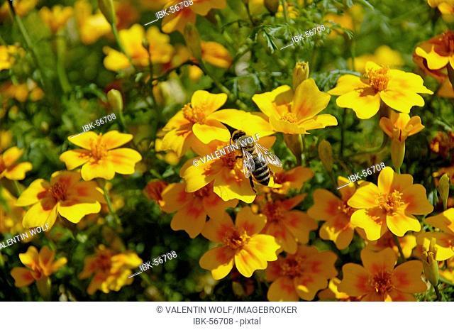Bee sitting on marigold Tagetes