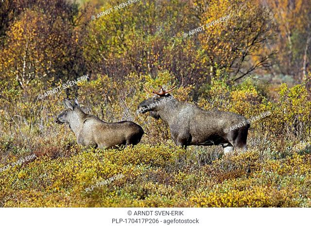 Moose (Alces alces) young bull and juvenile male foraging in moorland in autumn, Scandinavia
