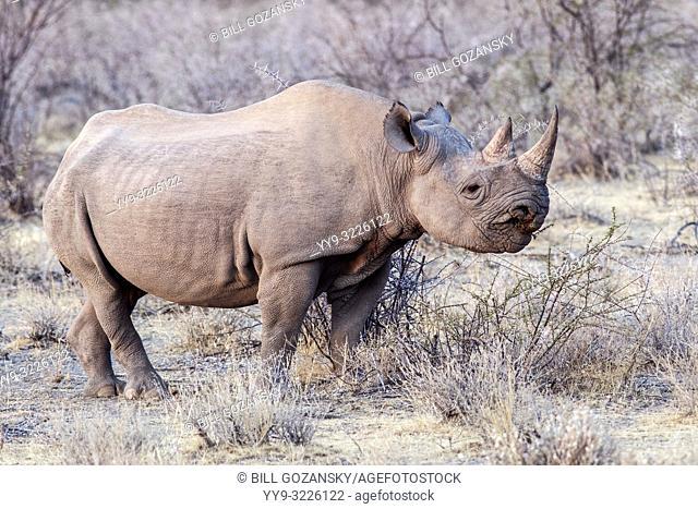 Black Rhino (Diceros bicornis) - near Etosha National Park, Namibia, Africa