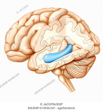 Cross-section illustration of the brain highlighting the hippocampus (blue) and in front of the hippocampus, the amygdala