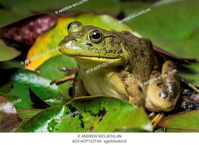 Bullfrog (Rana catesbeiana) on Horsehsoe Lake in Muskoka near Parry Sound, Ontario, Canada