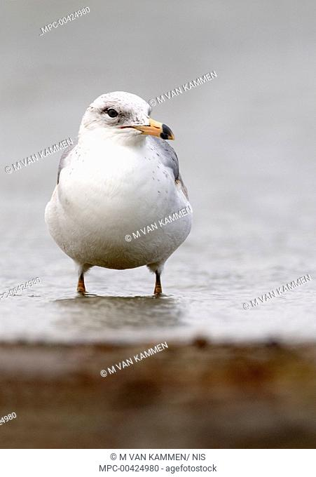 Ring-billed Gull (Larus delawarensis), Texas