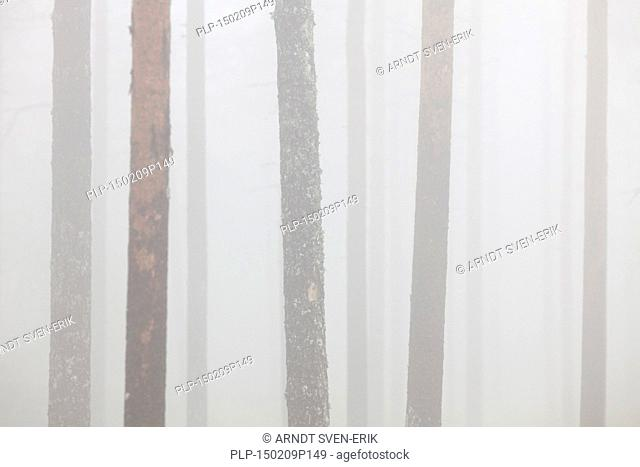 Scots Pine (Pinus sylvestris), tree trunks in coniferous forest in the mist