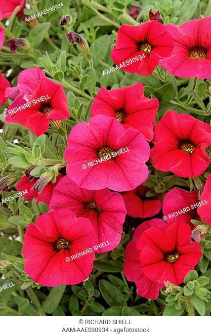 Petitunia Purple Dream Petunia Hybrid
