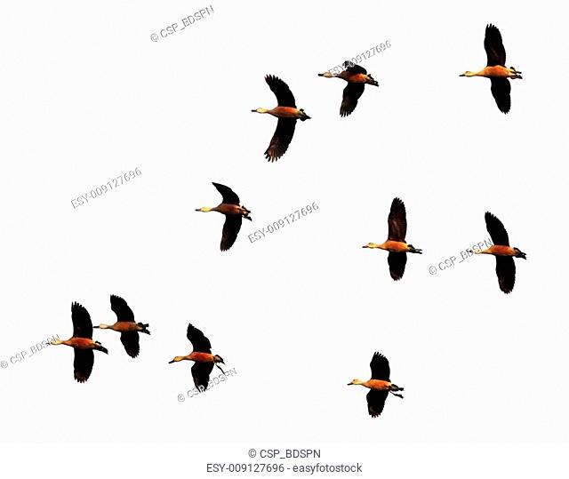 Flight of migratory birds