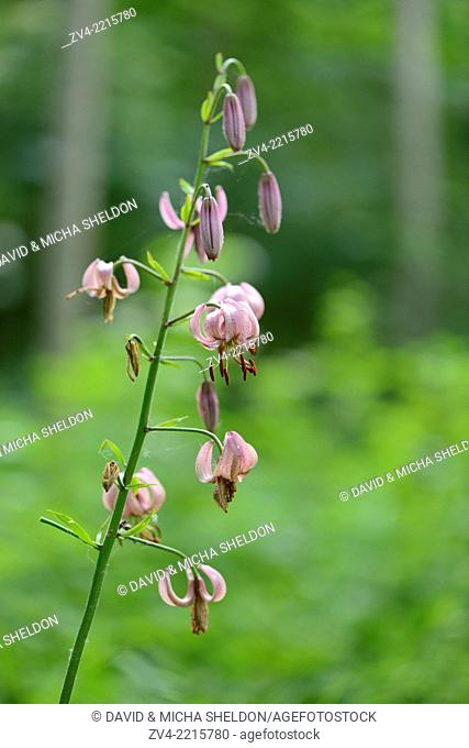 Close-up of a Martagon or Turk's cap lily (Lilium martagon) in a forest in spring
