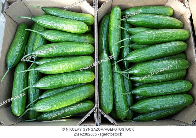 Vegetable production in the Belgorod region. Harvest cucumbers