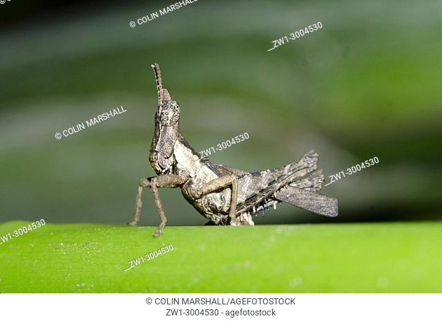 Grasshopper (Chorotypidae family), on branch, Klungkung, Bali, Indonesia