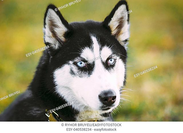 Young Happy Husky Puppy Eskimo Dog Sitting In Dry Grass Outdoor In Autumn