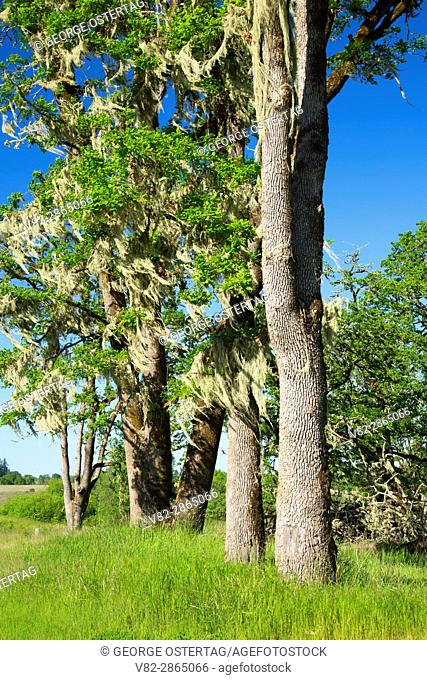 Oak woodland, William Finley National Wildlife Refuge, Oregon