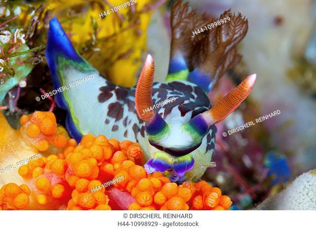 Neon Slug Nudibranch, Nembrotha purpureolineolata, Ambon, Moluccas, Indonesia