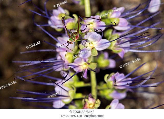 Katydid nymph sitting on an Orthosiphon flower