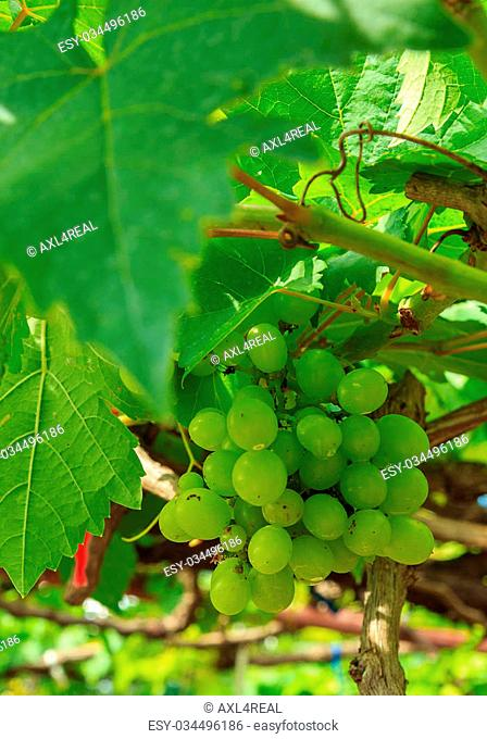Ripening Green Grape