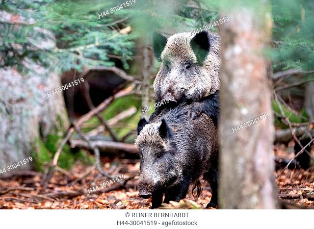 Pigs, beech mast, beech forest, real pigs, cloven-hoofed animals, sow, making a mess, making a mess in autumn, black smock, black game, pig, pigs, Suckel