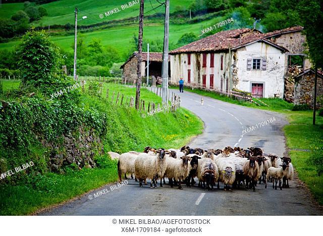 Sheep flock on the road  Mendive  Pyrénées-Atlantiques, France