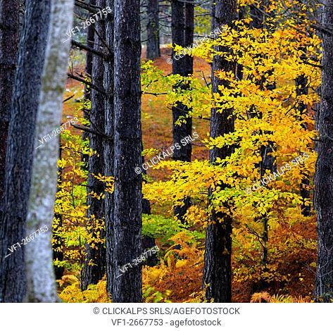 Sila National Park, Sila, Coturelle, Piccione, Catanzaro, Calabria, Italy Alberi colorati nel Parco Nazionale della Sila