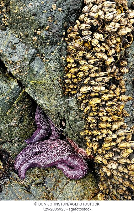 Ochre sea stars (Pisaster ochraceus) exposed at low tide, Hope Island, Vancouver Is., British Columbia, Canada