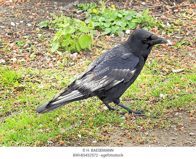 Carrion crow (Corvus corone, Corvus corone corone), partial albino on the ground, side view, Germany