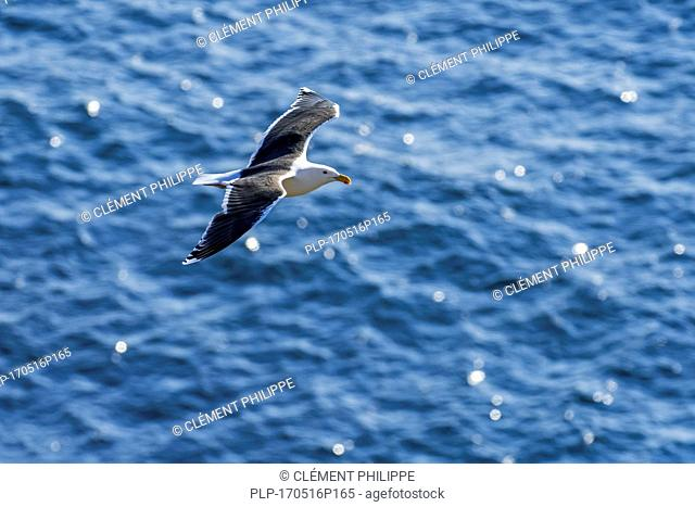Lesser black-backed gull (Larus fuscus) in flight above sea water