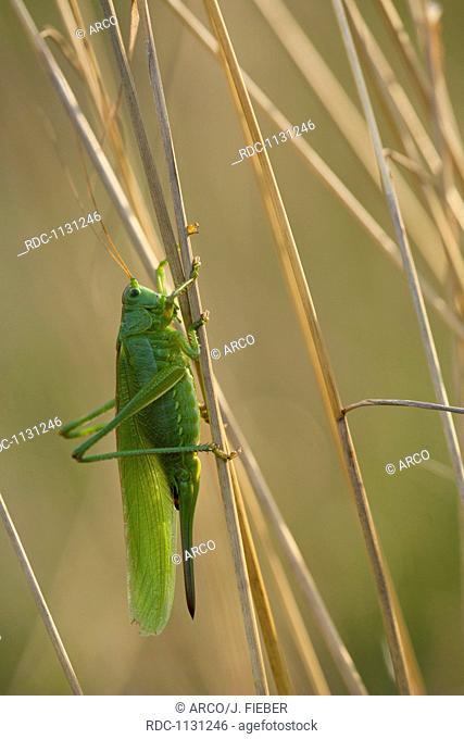 Great Green Bush-Cricket, Germany / (Tettigonia viridissima)