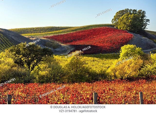 Fall's Vineyard Vibrance in Napa Valley, California, USA
