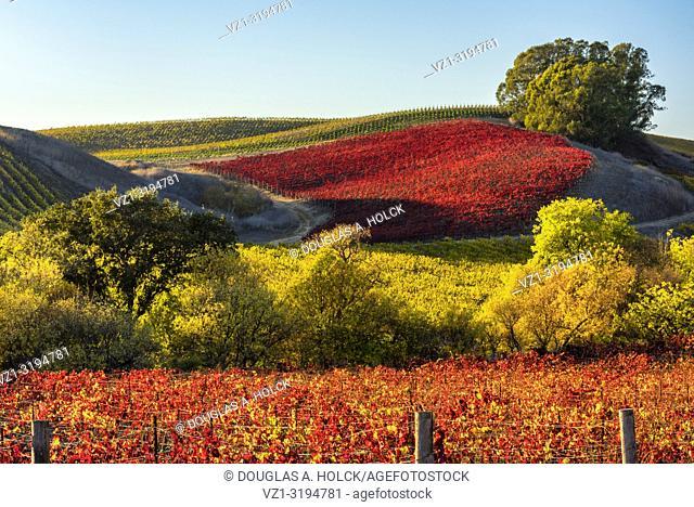 Fall's Vineyard Vibrance in Napa Valley, California, USA