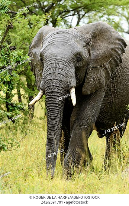 Wet African bush elephant (Loxodonta africana) in the rain. Serengeti National Park. Tanzania