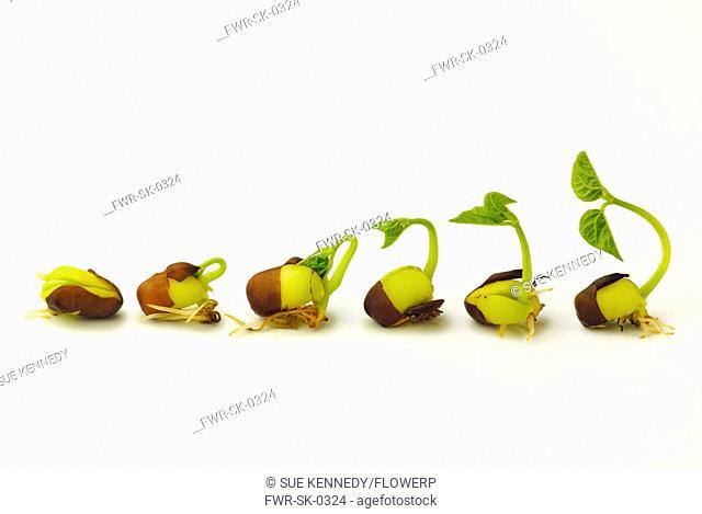 Vigna angularis, Adzuki bean