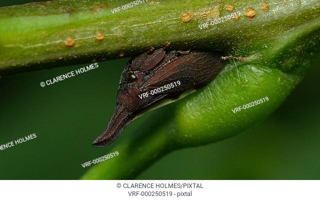 A Two-marked Treehopper (Enchenopa binotata) perches on the underside of a Black Locust (Robinia pseudoacacia) tree stem