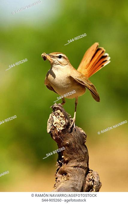 Rufous Bush Robin (Cercotrichas galactotes)