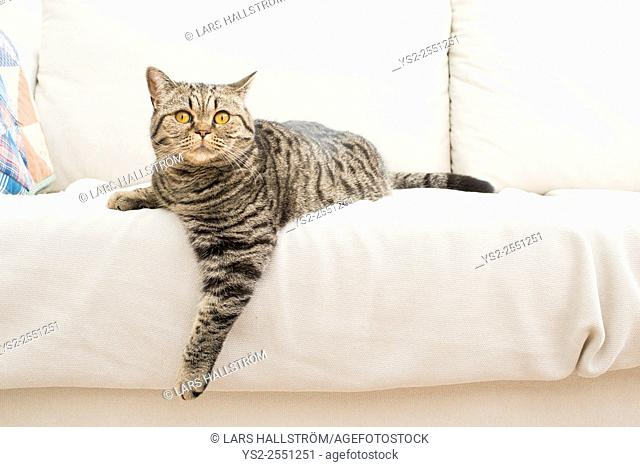 Curious cat on white sofa. At home in living room looking at camera with surprise