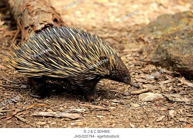 Short-beaked Echidna, (Tachyglossus aculeatus), adult searching for food, Mount Lofty, South Australia, Australia