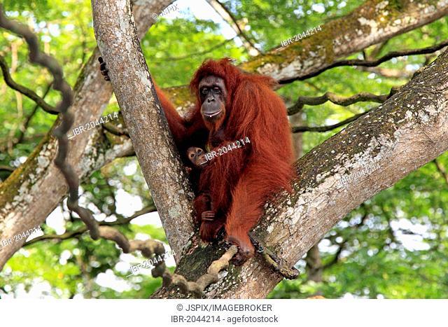 Bornean orangutan (Pongo pygmaeus), mother with young, Singapore, Asia