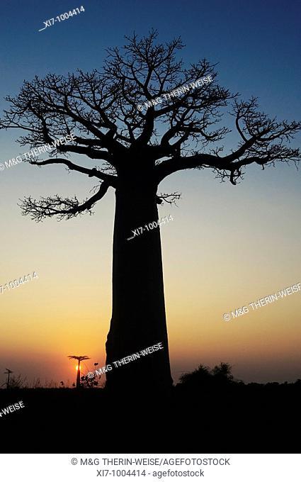 Baobabs Adansonia Grandidieri at sunset, Morondava, Madagascar Baobabs Adansonia Grandidieri au coucher de soleil, Morondava