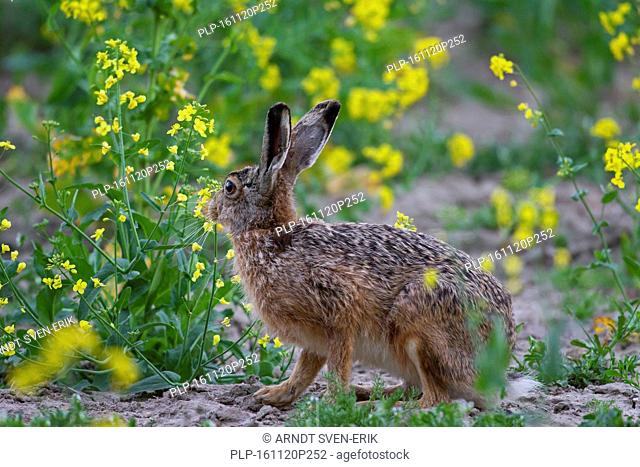 European Brown Hare (Lepus europaeus) foraging in oilseed / colza field in spring