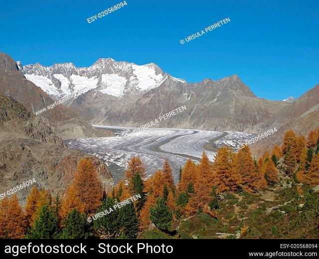 Larchs And Aletschgletscher In The Autumn