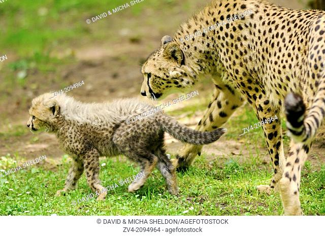 Close-up of a cheetah (Acinonyx jubatus) mother with her youngster